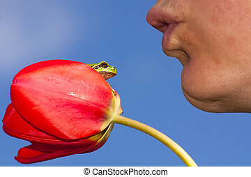 European tree frog and tulip kiss - A European tree frog...