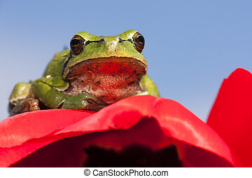 European tree frog and tulip - A European tree frog sitting...