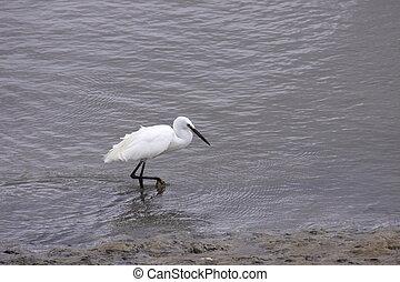 Little Egret, Aigrette Garzette