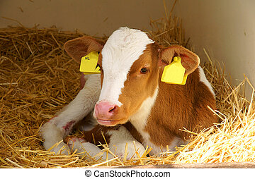 Calf with yellow eartag - Calf with dutch yellow ID eartag