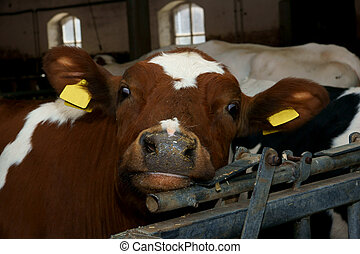 Funny cow, wit focus on the nose