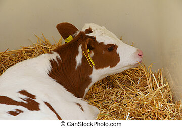 Calf with yellow eartag - Calf with yellow dutch eartag