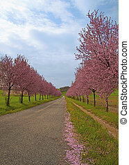 Peach trees - Road in between pink peach trees under blue...
