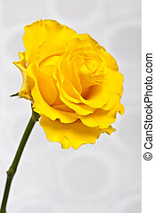 Rose - Yellow rose on white silk