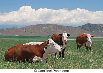 Hereford Cattle - Hereford cattle grazing on open range...