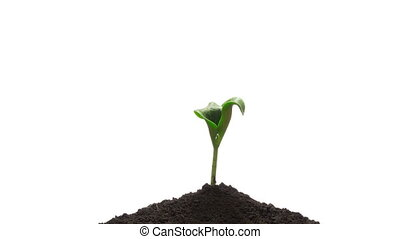 Time-lapse grow sprout from soil - isolated on white...