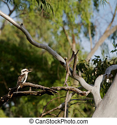 Kookaburra, Australia - A kookaburra bird sitting on a...