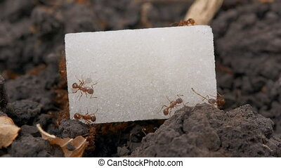 Ant eating lump of sugar time-lapse - Ant eating lump of...