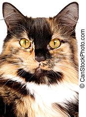Calico Portrait - A portrait of a calico cat