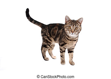 Tabby Cat - A tabby cat isolated on white