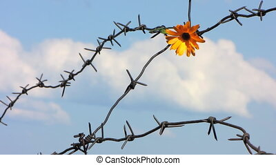 Barb wire 8 - The Flower and barbed wire.
