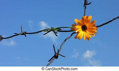 Barb wire 4 - The Flower and barbed wire.