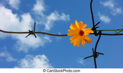 Barb wire 3 - The Flower and barbed wire.