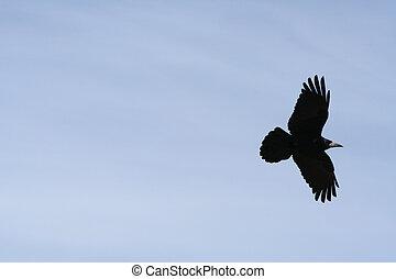 rook - flying black rook