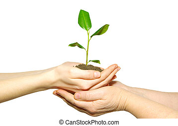 plant between hands - holding a plant between hands on white...
