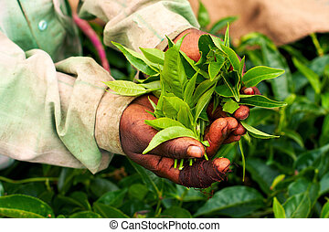 Tea - Woman hand holding tea leaf