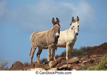 Two donkeys on a mountain