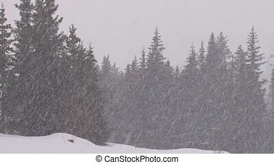 Blizzard Forest 1 - Heavy snowfall in a spruce forest 30fps,...