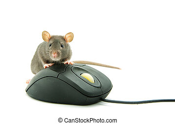 rat - Rat and a computer mouse on white background