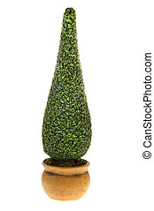 Buxus bush in flower pots isolated white background