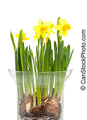 Yellow Daffodil flower in vase over white background