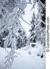 winter forest in mountains - winter forest in Harz mountains...