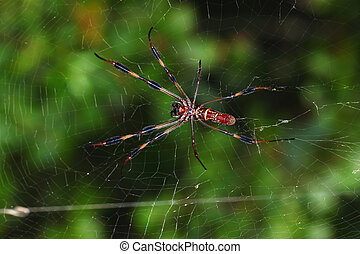 Golden Silk Orb-weaver Nephila clavipes - Golden Silk...