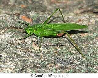 Broad-winged Katydid Microcentrum rhombifolium - A...
