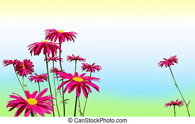 Pink daisy flowers on pastel colors - Sping or summer...