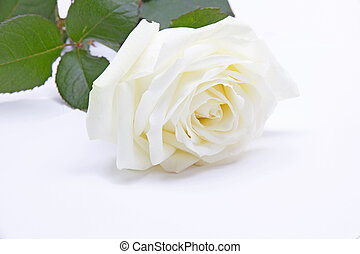 Single white rose - Beautiful single white rose