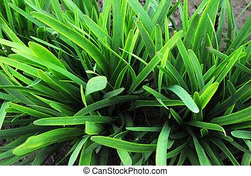 Leek growing in the fields - Chinese leek growing in the...