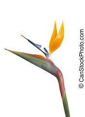 Bird of paradise flower (Strelitzia reginae) isolated on...