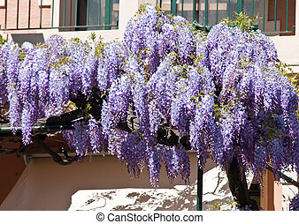 wisteria flowers just bloom in early spring on a balcony