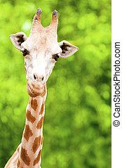 jirafa, alimentación