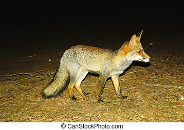 Fox in the night - View of beautiful wild mammal grey-ore...