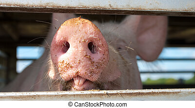 pigs in a trailer ready to be transported to the...