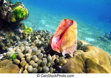 Seashell in caribbean reef colorful sea Mayan Riviera