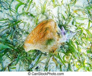 Seashell in Caribbean sea over white sand bottom