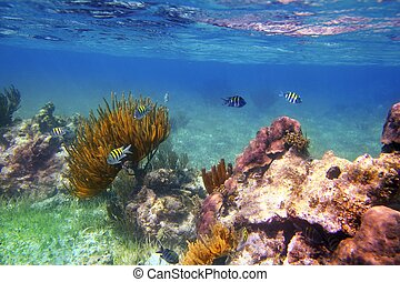 Sergeant Major fishes in caribbean reef Mexico Mayan Riviera