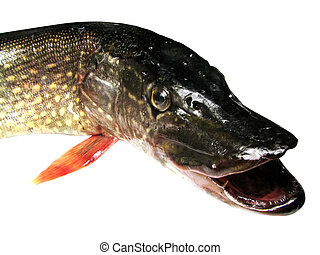 pike with an open mouth on an isolated white background