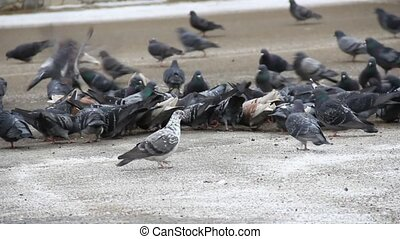 Pigeons eat on ice road