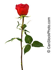single scarlet rose on a white background