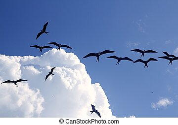 frigate bird silhouette backlight breeding season sky flying