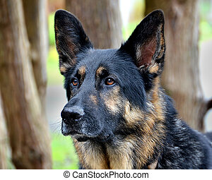 German Shepard portrait