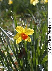Lent lily - Bloom of a lent lily Narcissus