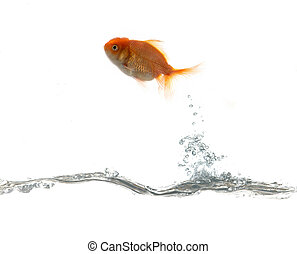 Pets fish on water - Golden fish flying on water