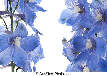 delphinium - Studio Shot of Blue Colored Delphinium Isolated...