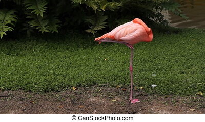 Sleeping flamingo. Two shots. - A beautiful pink flamingo...