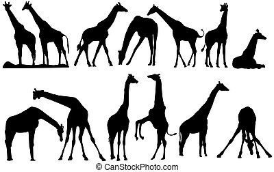 vector silhouettes of giraffe on a white background