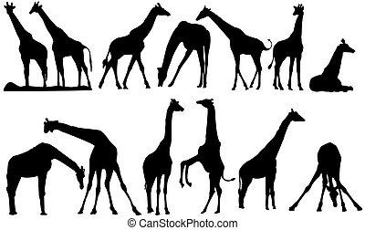 vetorial, silhuetas, Girafa